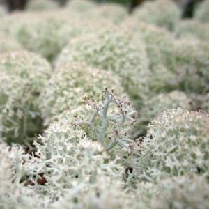 Кладония рангеферина Cladonia rangiferina - Олений лишайник - ягель